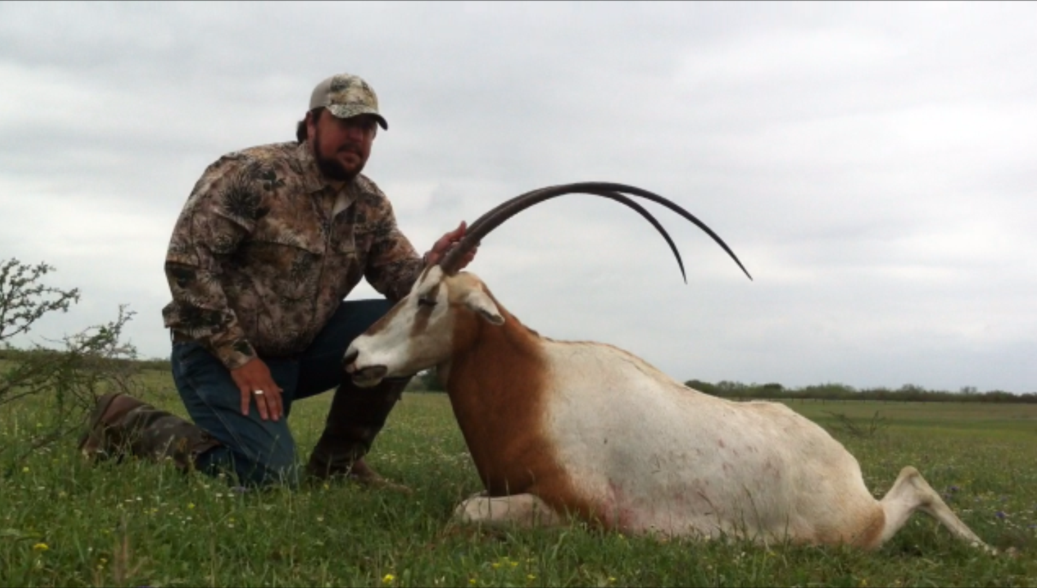 Texas Scimitar Horned Oryx Hunting