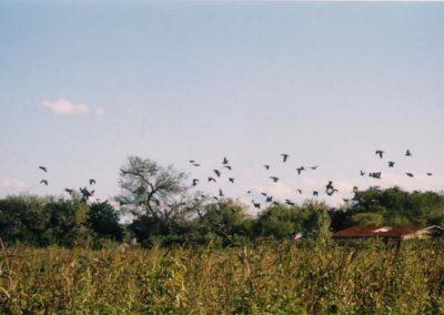Dove Hunting in Texas