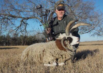 Four Horned Jacob's Sheep Hunt TX