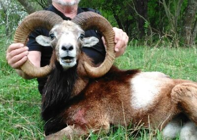 TX Mouflon Sheep Hunt
