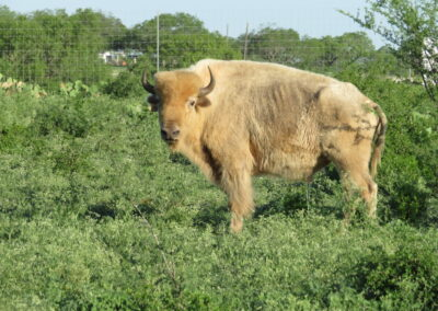 White Buffalo Hunt TX