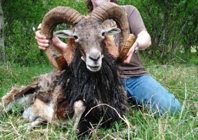 Mouflon Hunt 1