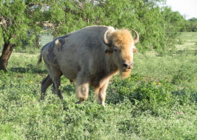 White Buffalo Hunt 1