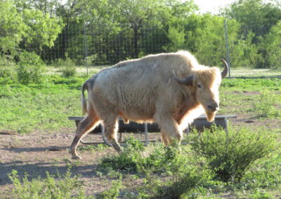 White Buffalo Hunt 2