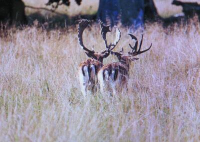 TX Fallow Deer for Sale