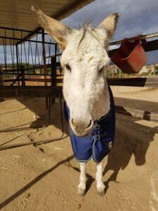 Samson the donkey