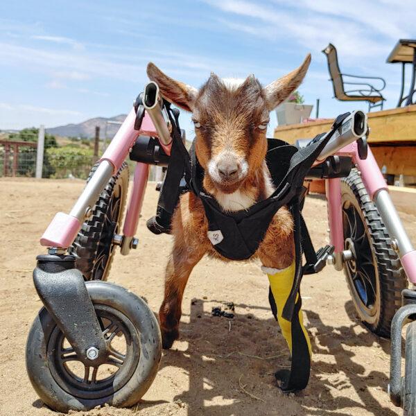 Sprinkles the goat