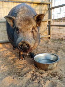 Merle the pig