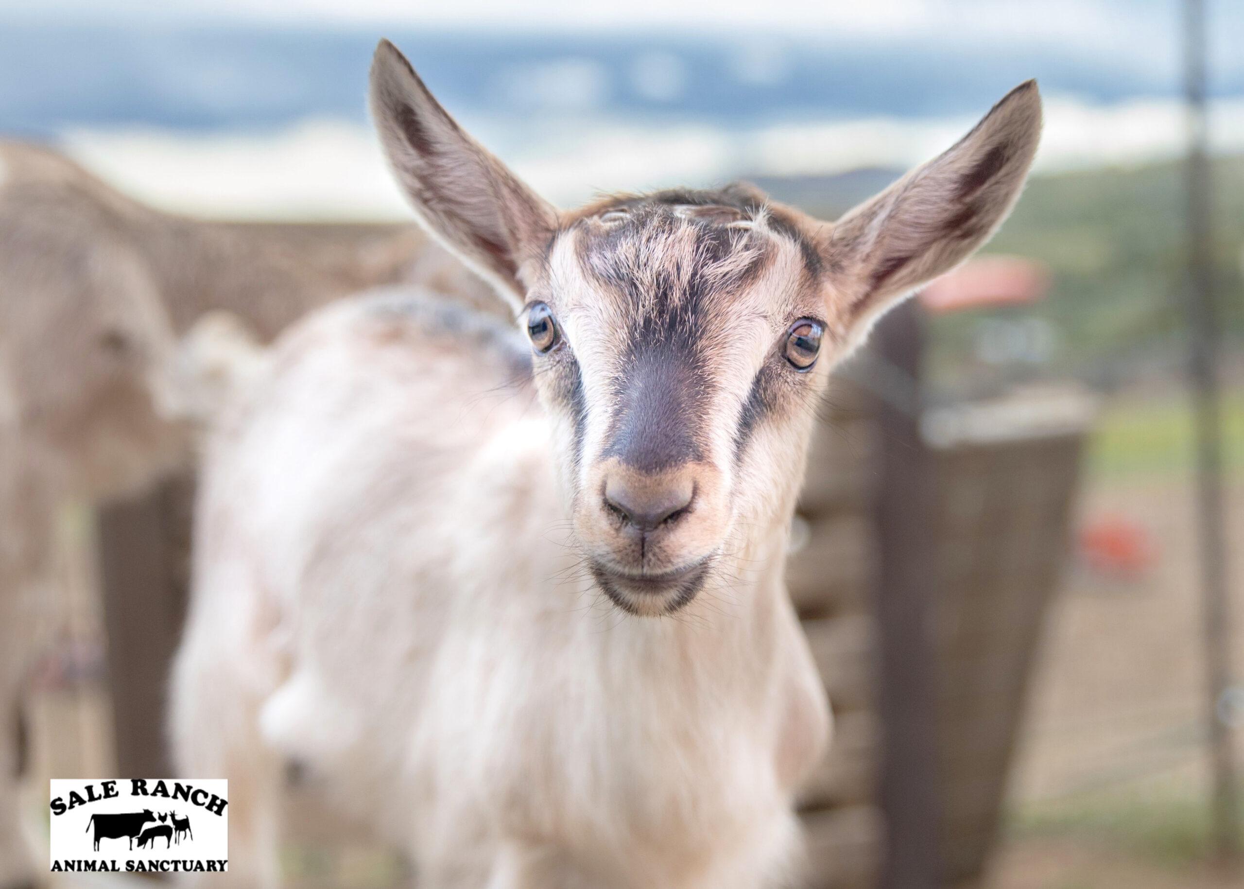 Axl Rose the Goat