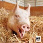 Cherry the pig