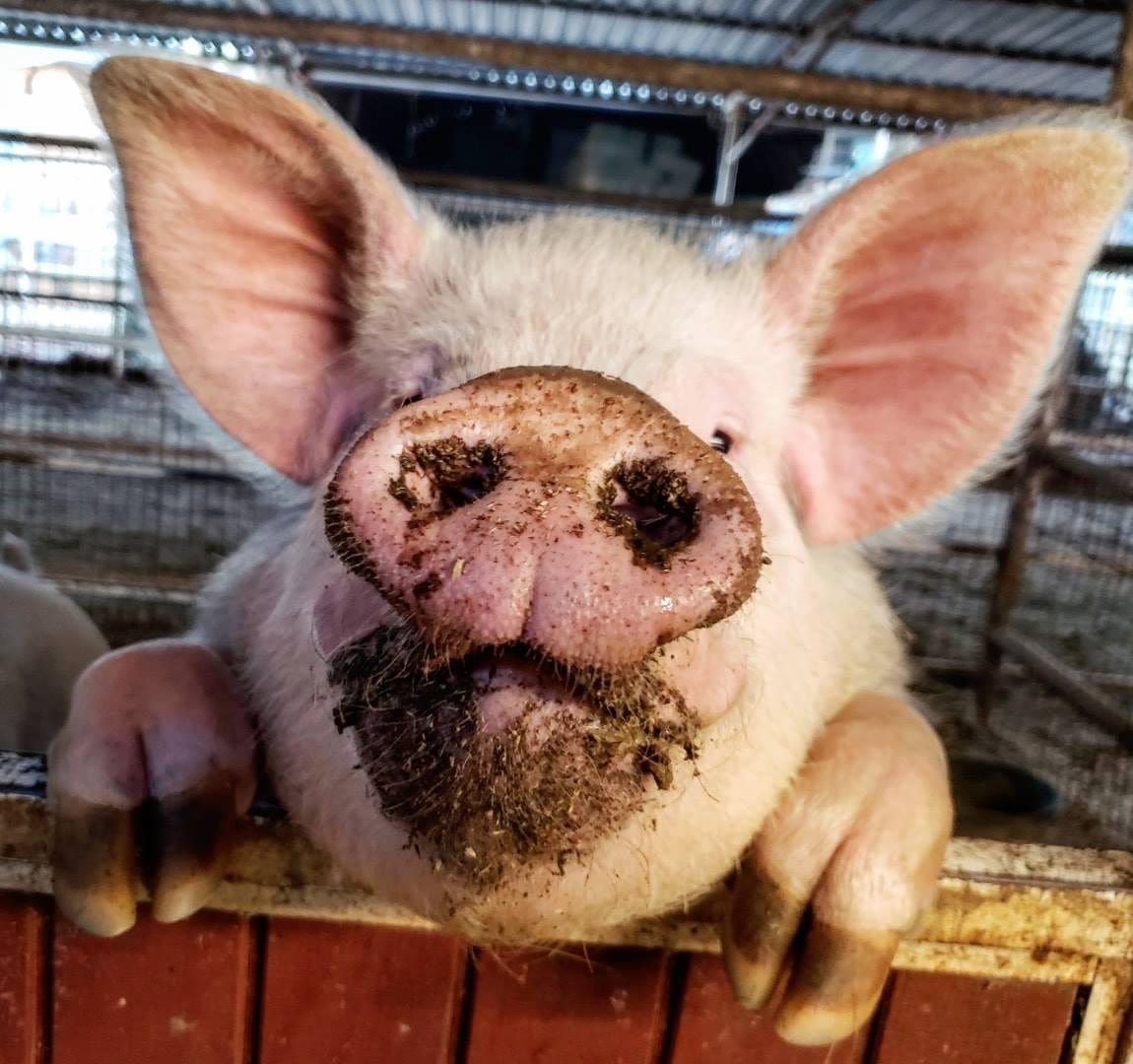 Dexter the pig