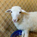 Emmylou the sheep