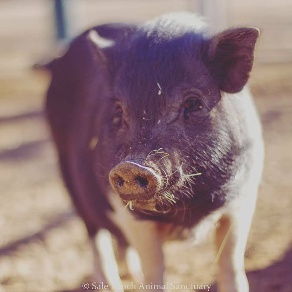 Janis the pig