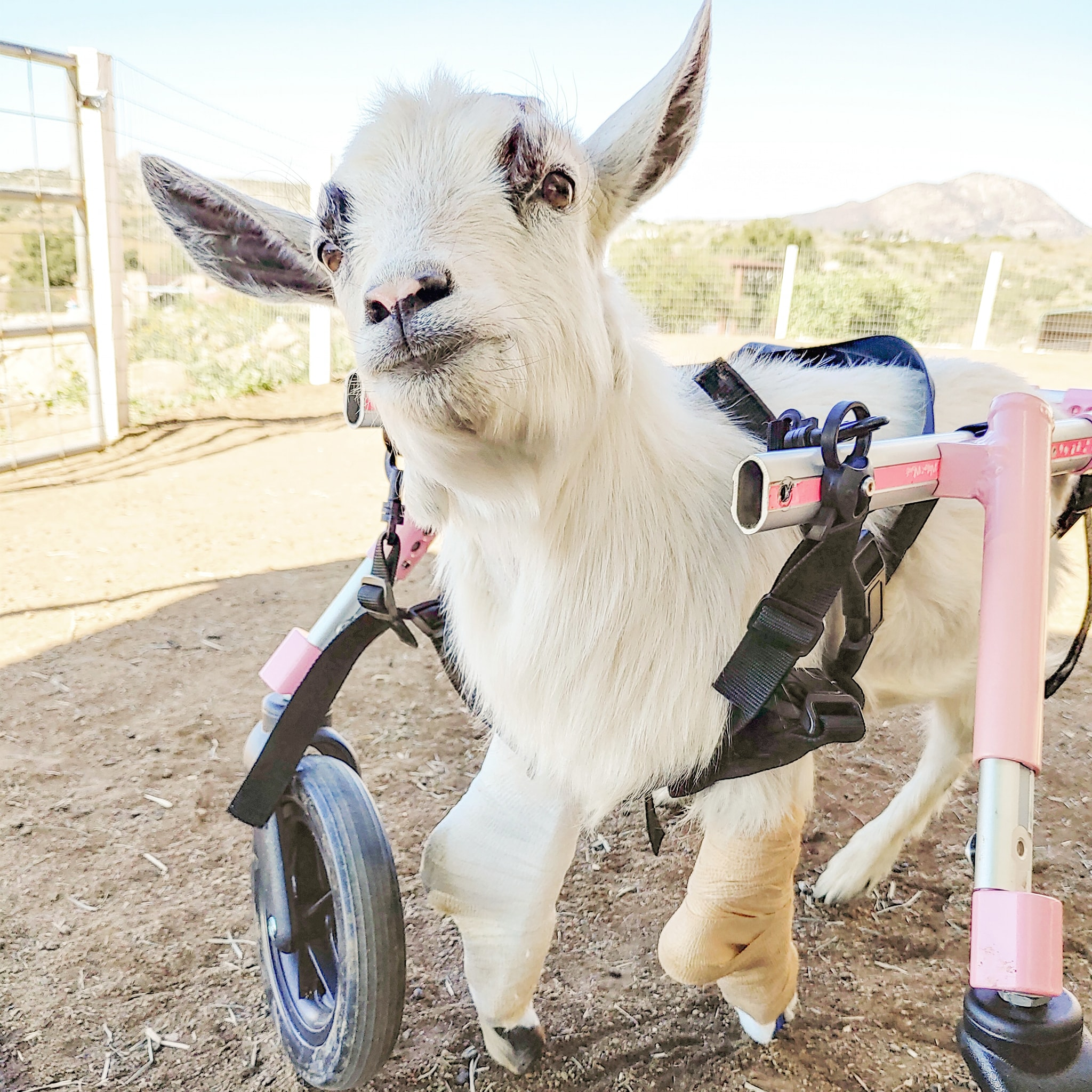 Jolene the goat