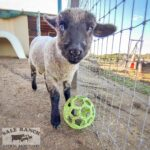 Mary the sheep