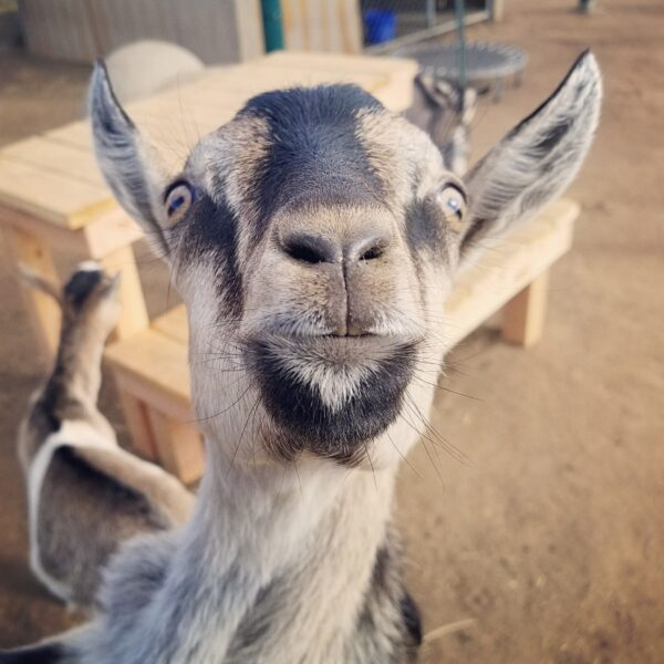 Paul the goat