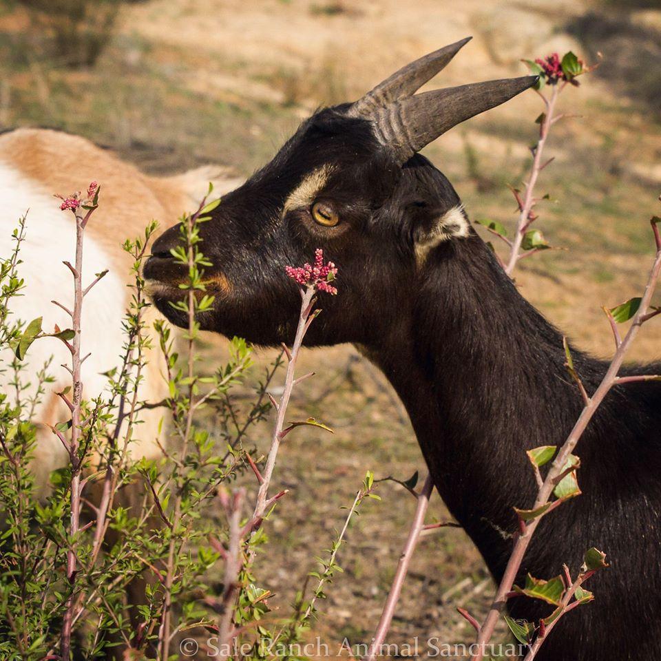 Simon the goat
