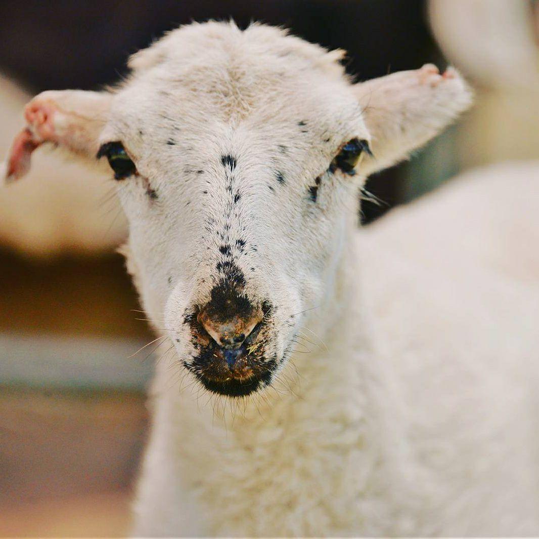Stevie the Goat