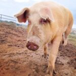 Susie the pig