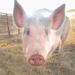 Weston the pig