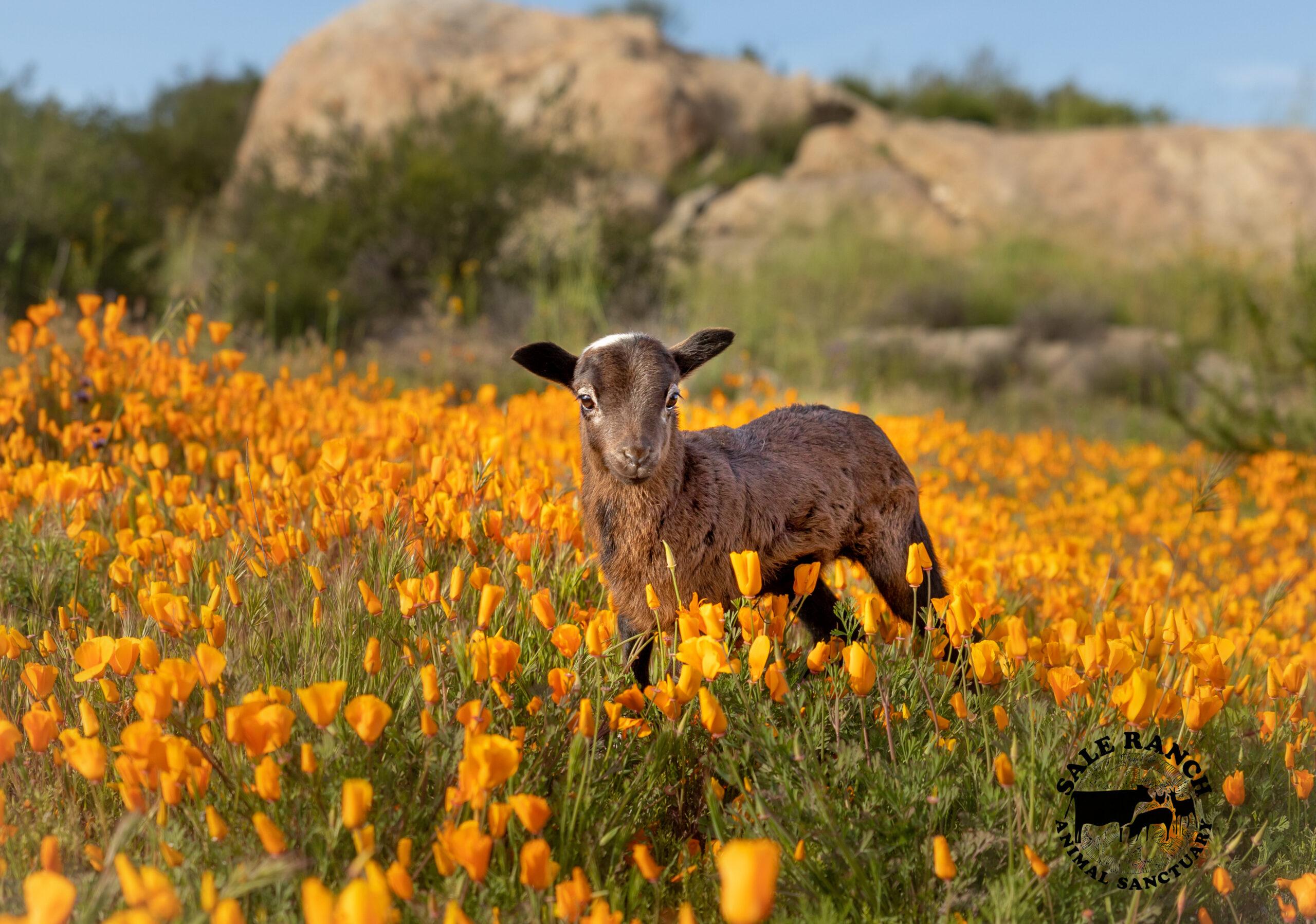 Hazel the Goat