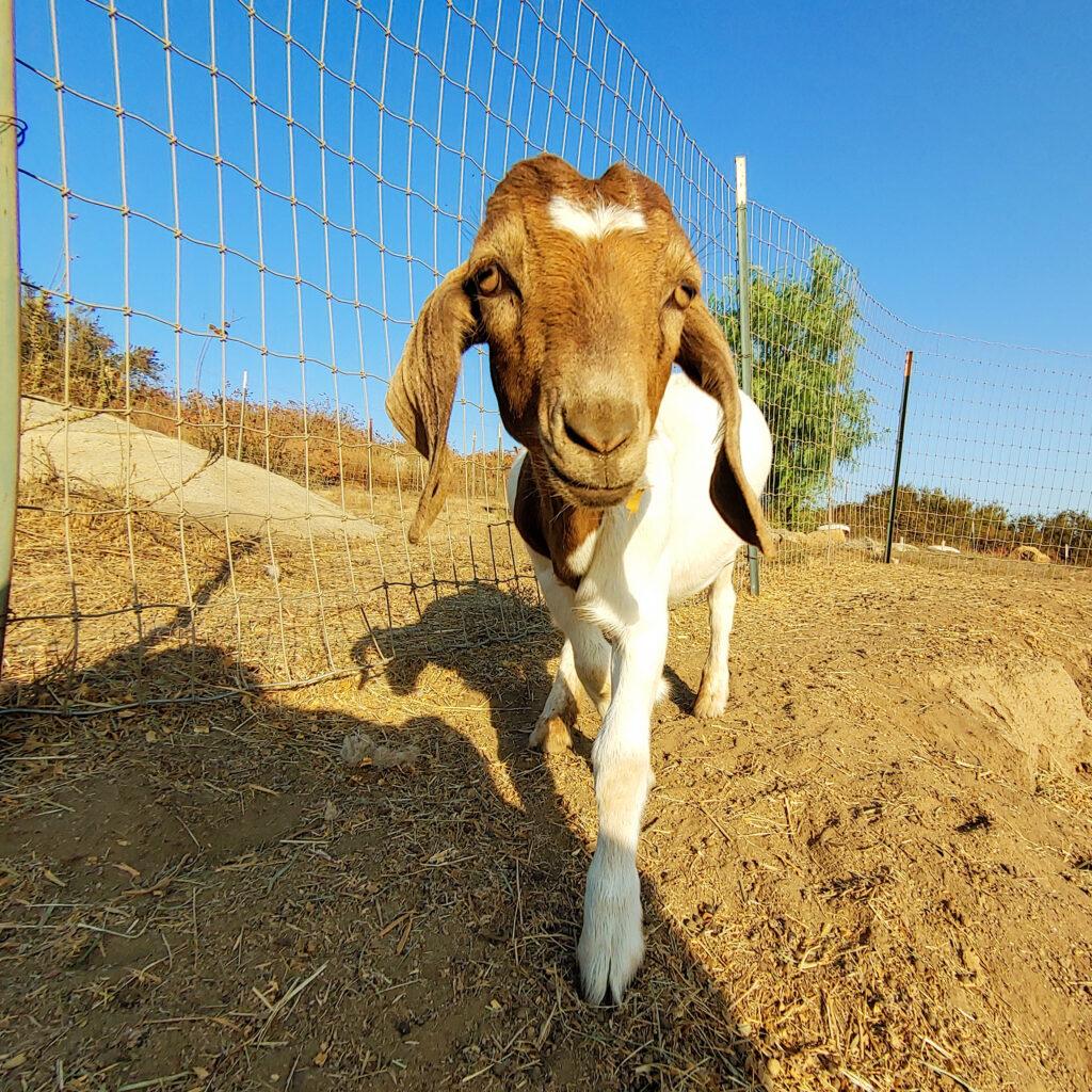 Regan the goat