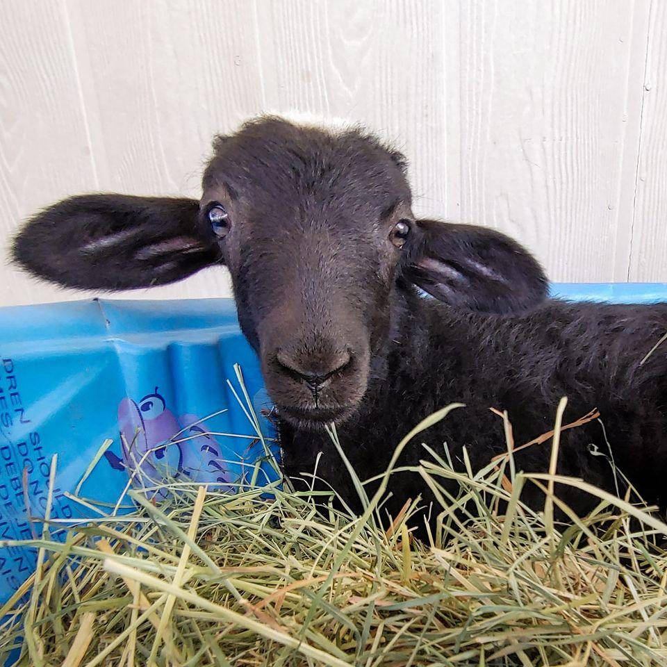 Lawson the sheep