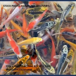 """picture of beautiful pond gradekoi 2.5"""" in size"""
