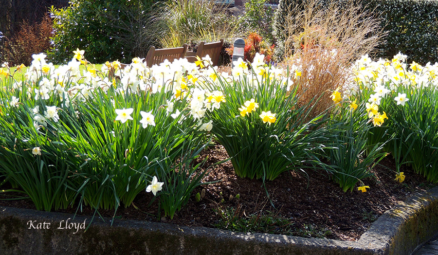 I'm impatiently waiting for these daffodils to return at the Urban Horticulture Center.