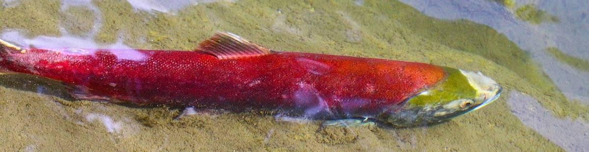 salmon fishing central coast BC