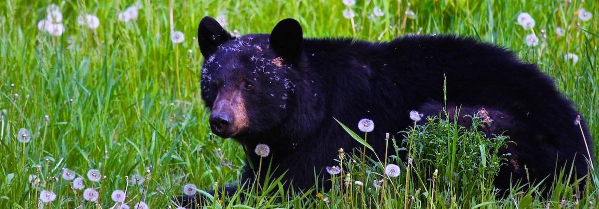 black bear guided wildlife walk