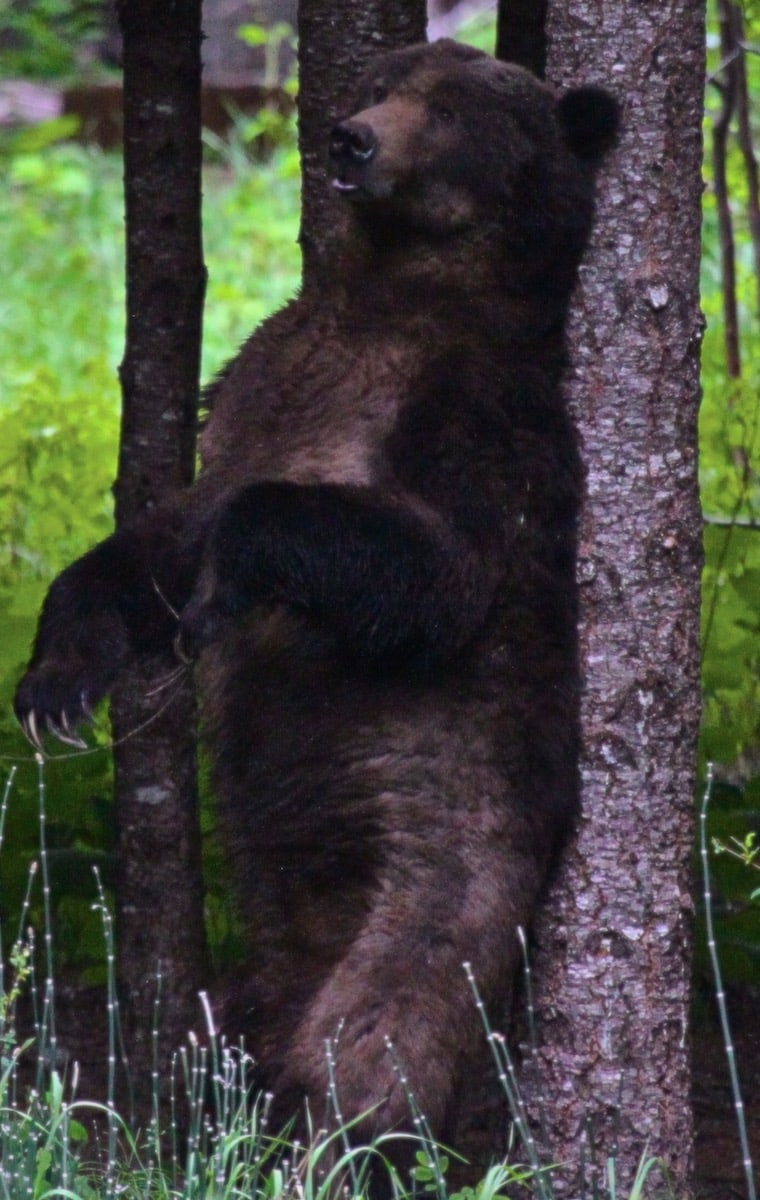bear scratching Great Bella Coola Chalet