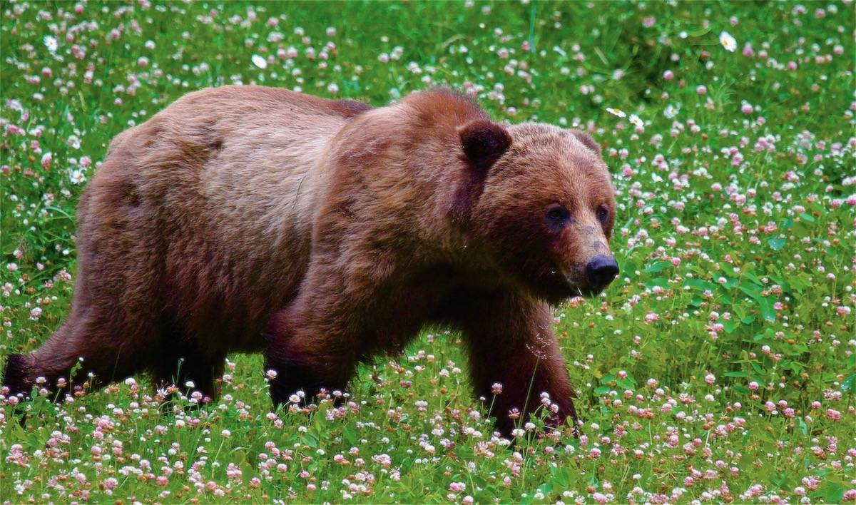walk reverence grizzly wildlife guided tour