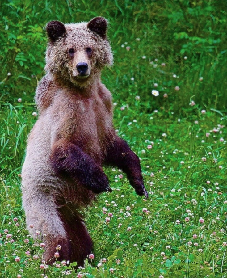grizzly bear cub hiking guide Bella Coola