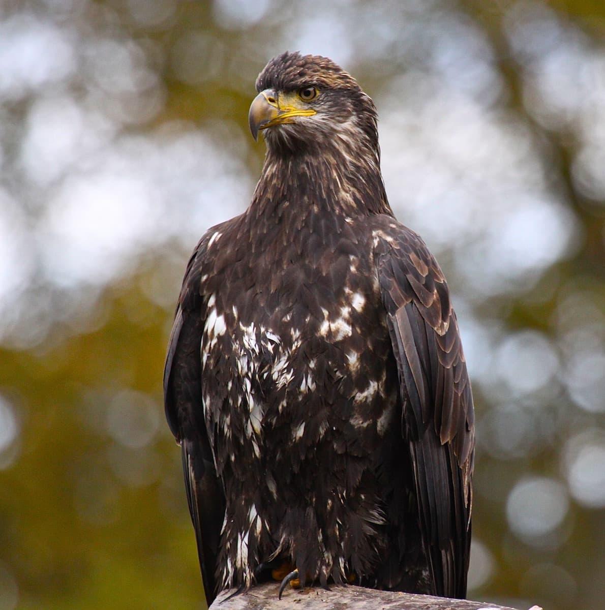 young bald eagle Bella Coola