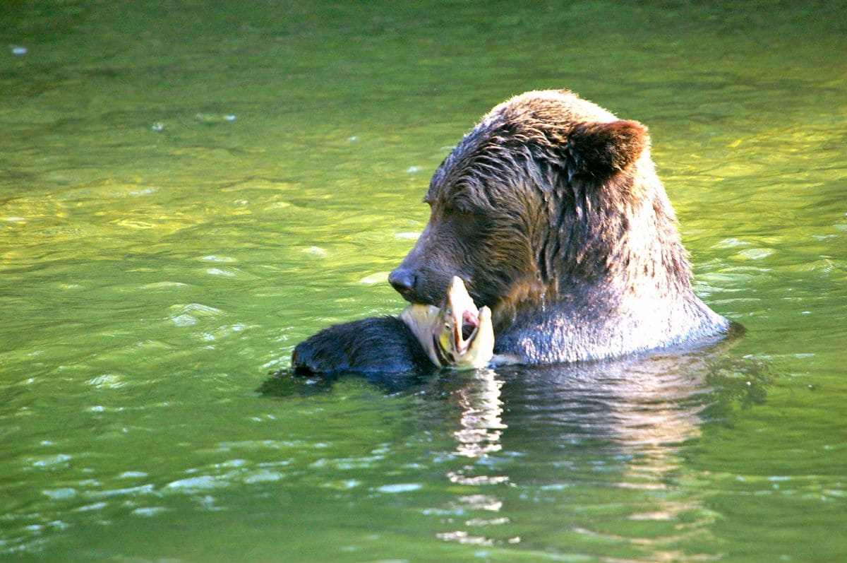 grizzly bear fishing river guide