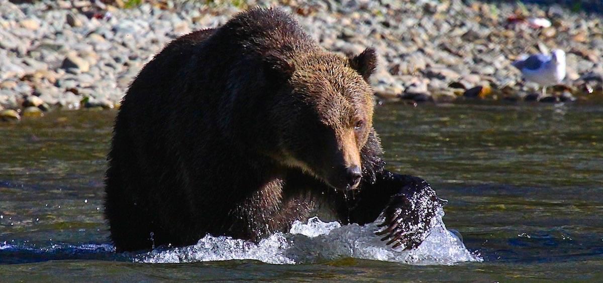 bear viewing driftboat tours Great Bear Adventures