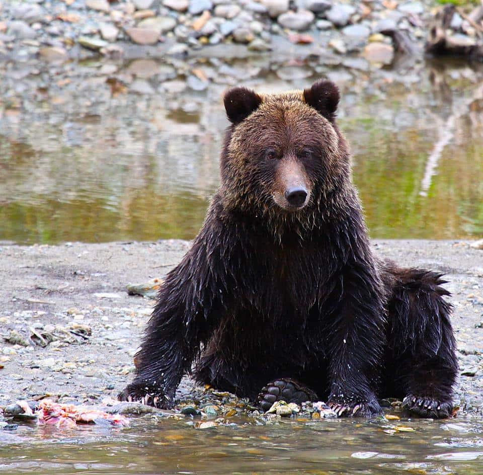 grizzly bear cubs river guide Bella Coola