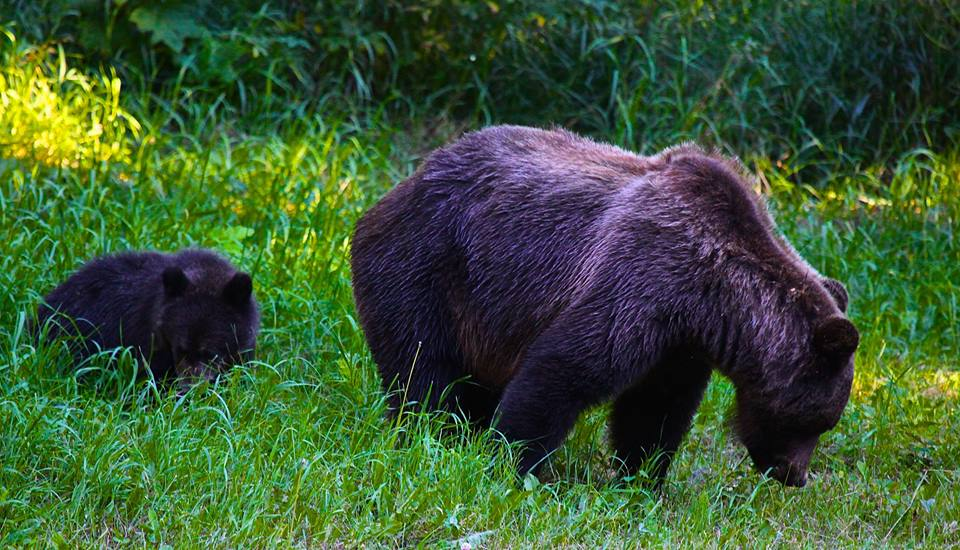 grizzly cub hike walk bear tour