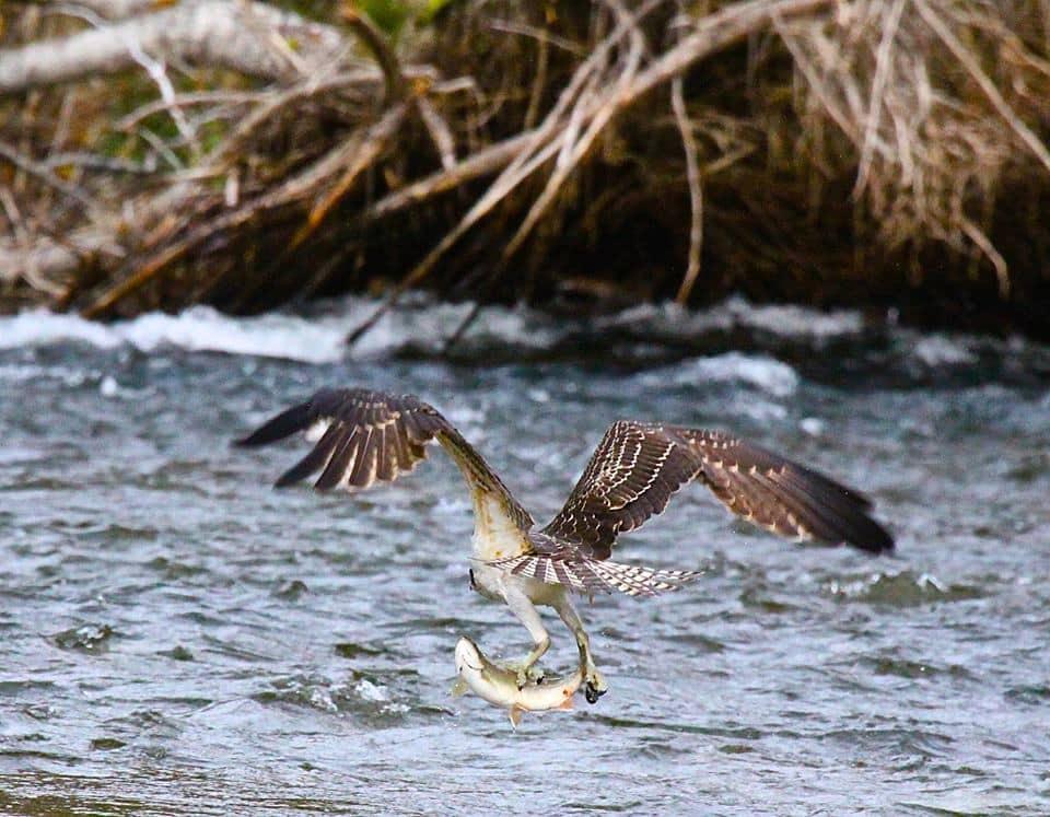 birding salmon photography Great Bear