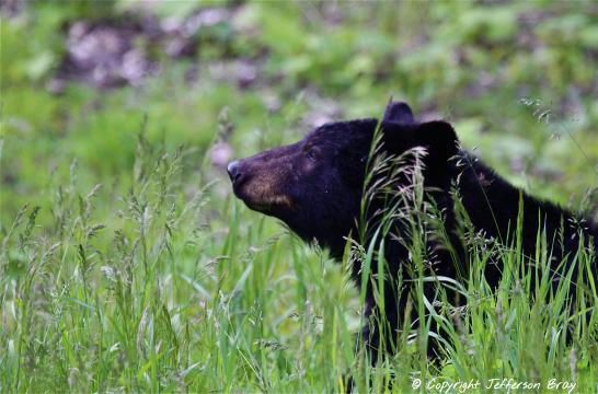 bart black bear Great Chalet Adventures