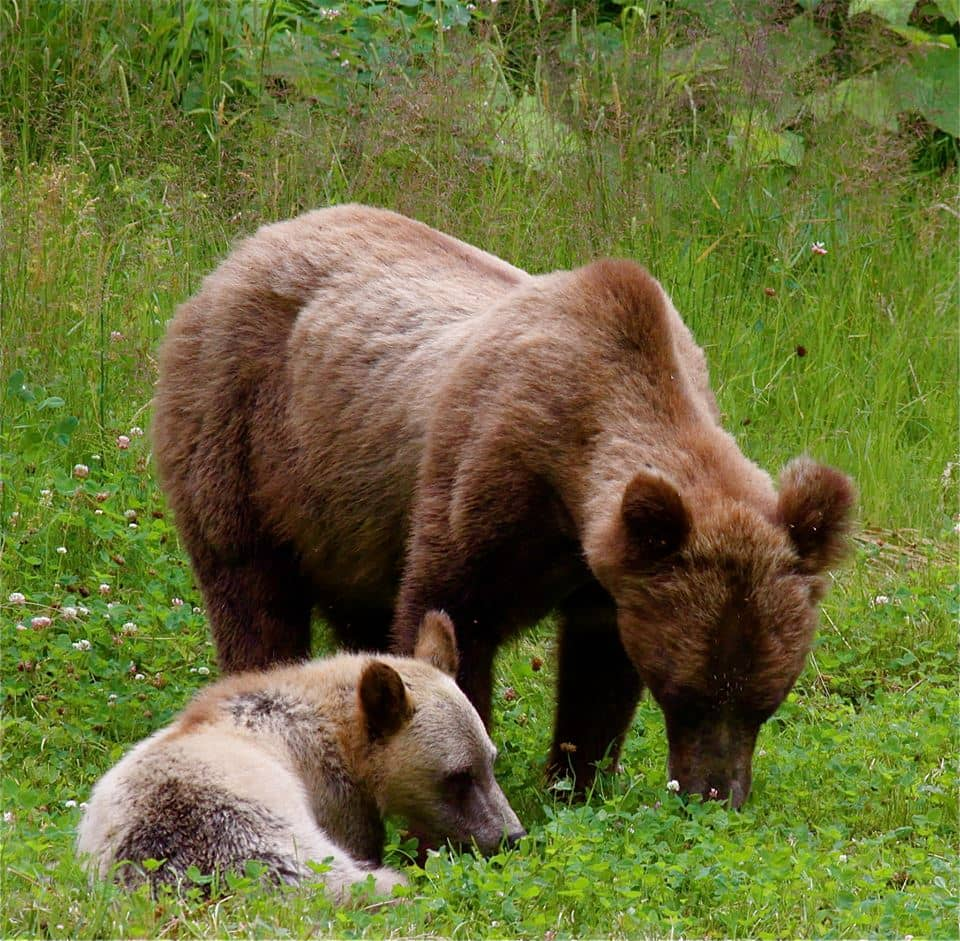 grizzly mother cub wildlife walk Great Bear Adventures