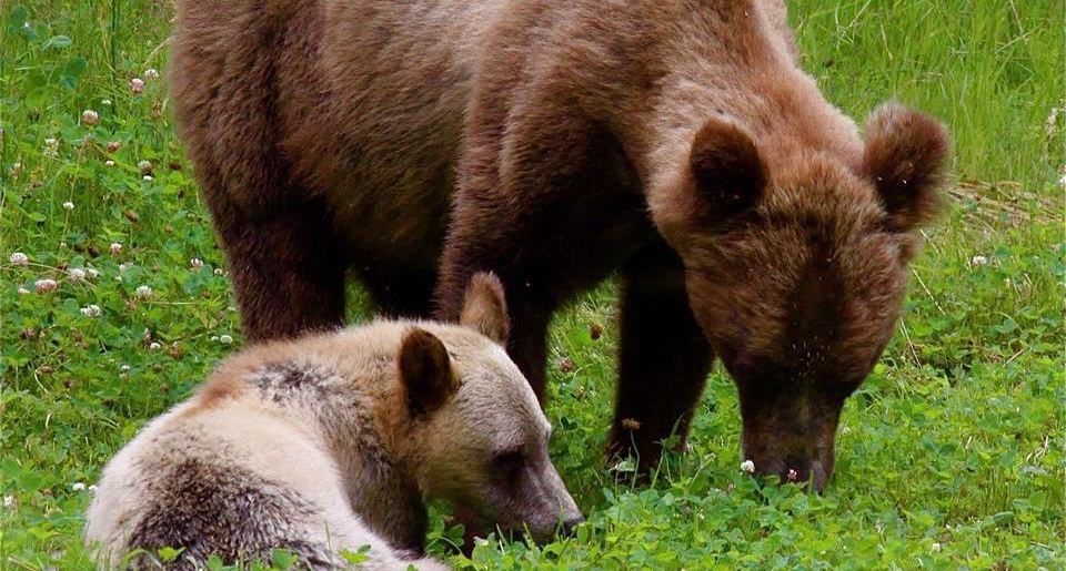 grizzly mother cub wildlife Great Bear Adventures