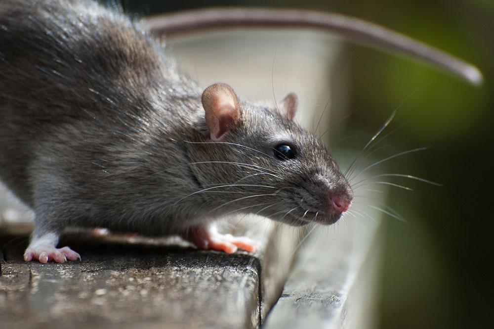 Roof-Rat