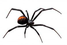 Widow-Spider