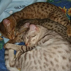 Ocicats love to snuggle with friends