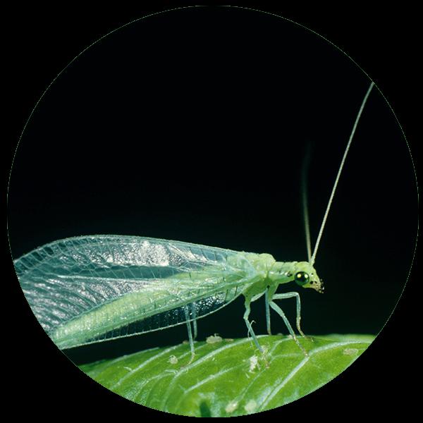 Mallada-signata-green-lacewing