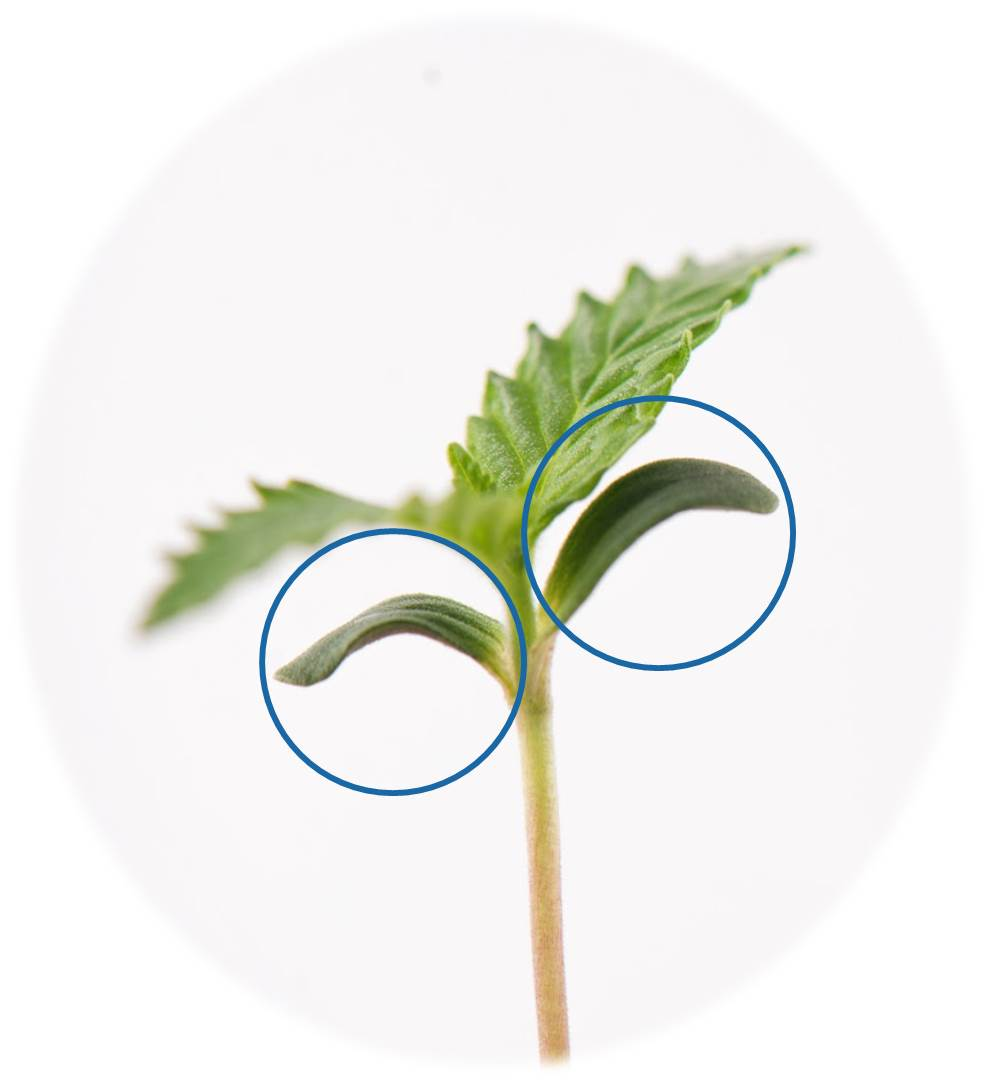 Cannabis cotyledons