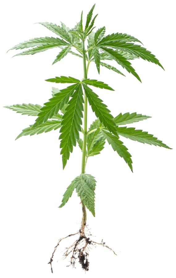 A cannabis or hemp plant