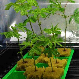 Cannabis clones hot plate viroid